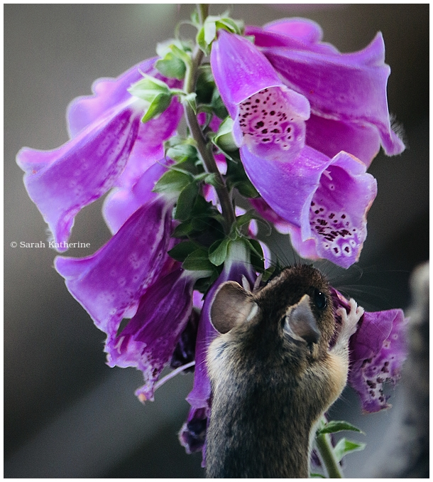 field mouse, foxglove, spring, flower, mouse