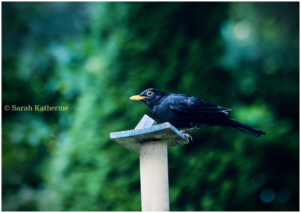 blackbird, garden, summer