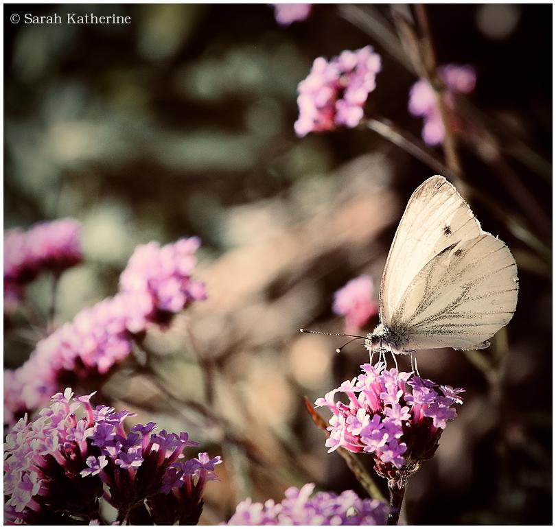 butterfly, papillon, garden, summer