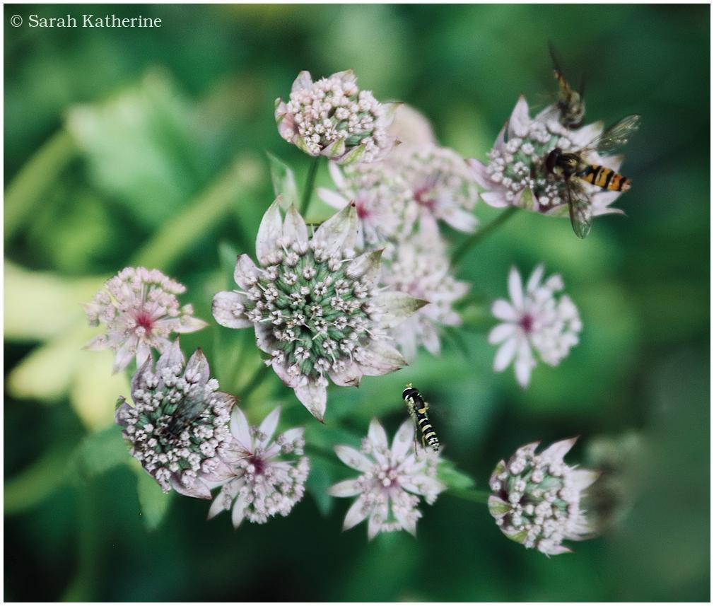 hoverfly, garden, summer, astrantia