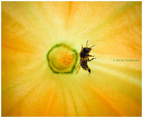 bee, courgette flower, summer, garden, veggie plot