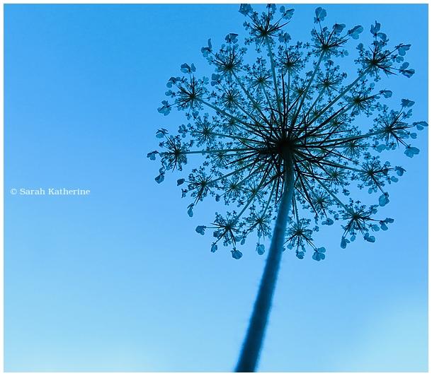 below, under, wild flower, sain't Anne's lace