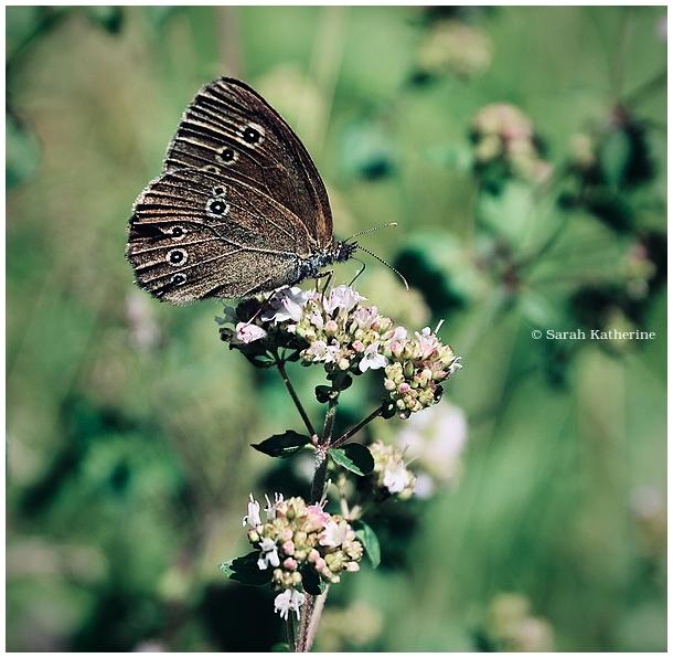 butterfly, sunshine, summer, buttterflies