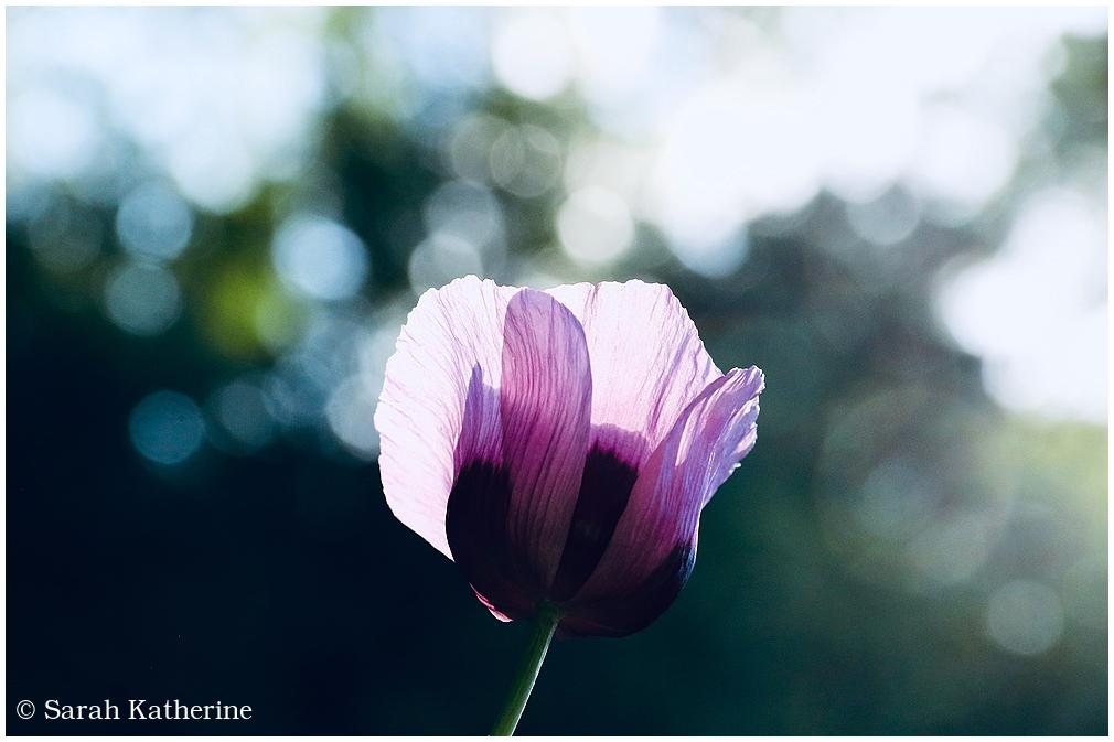 Papaver somniferum, poppy, pink, summer, august