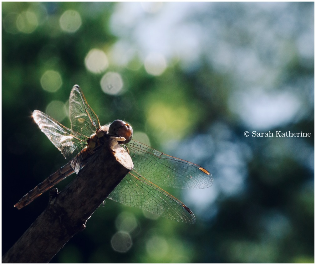 dragonfly, summer, garden