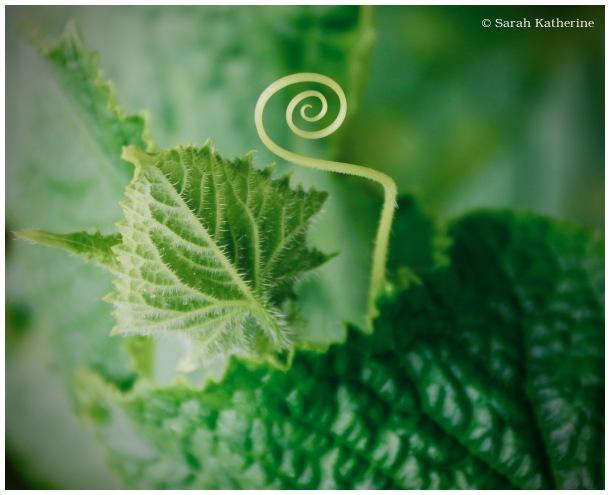spiral, tendril, garden, summer, cucumbers
