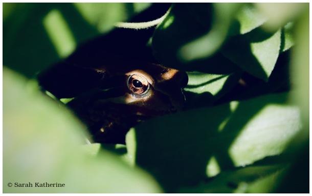 Rana temporaria, grenoulle rousse, frog, garden