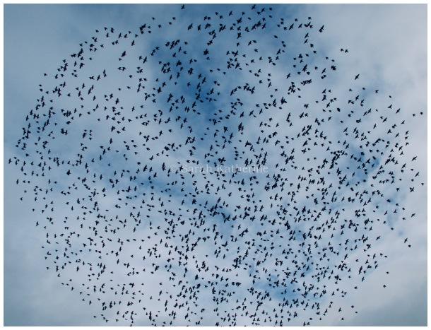 starlings, circle, autumn