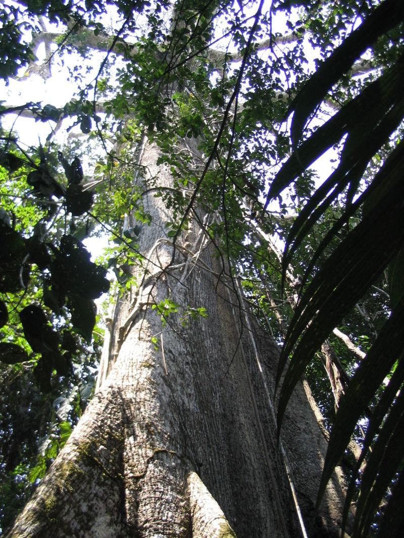 Arbre géant dans la réserve de Manu