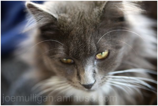 a close-up of our kitten Ragamuffin's face