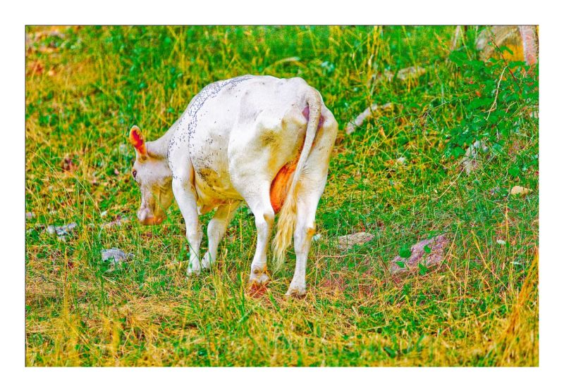THE LONELY COW - 2