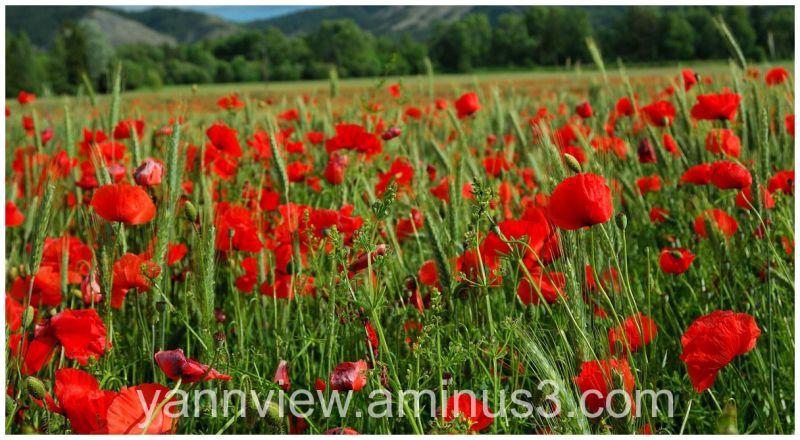 Field of red poppy at Seyne, France