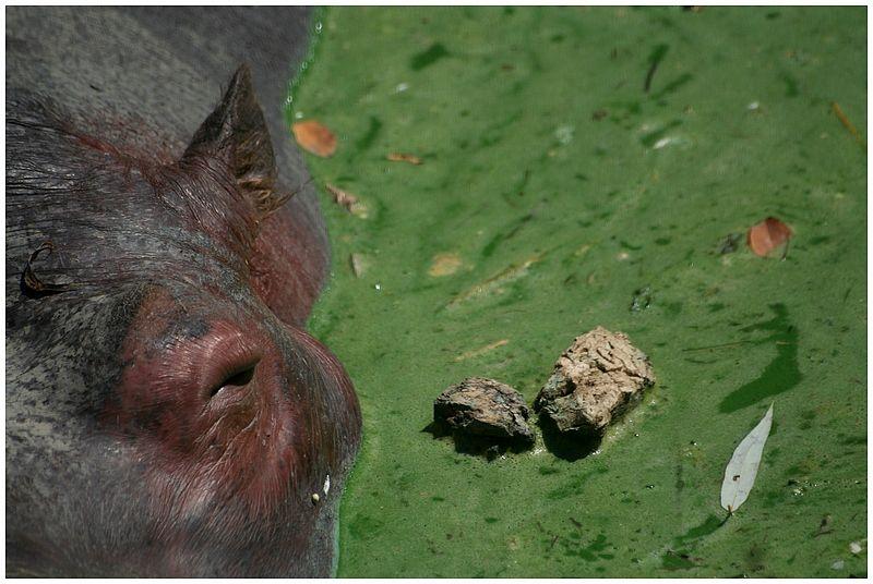l'oeil de l'hippopotame