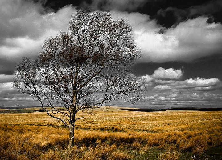 sigle tree on moor