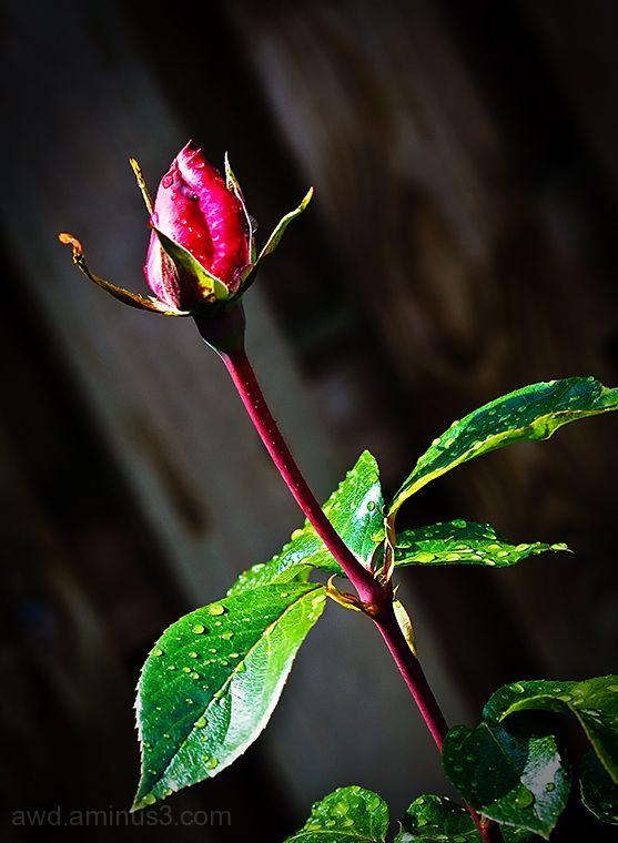 opening rose bud