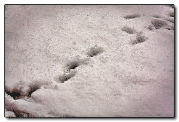 paw prints snow