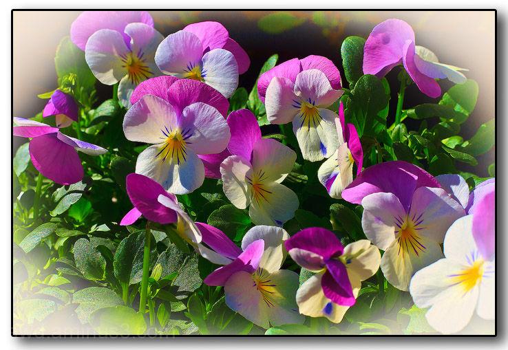 flowers violas