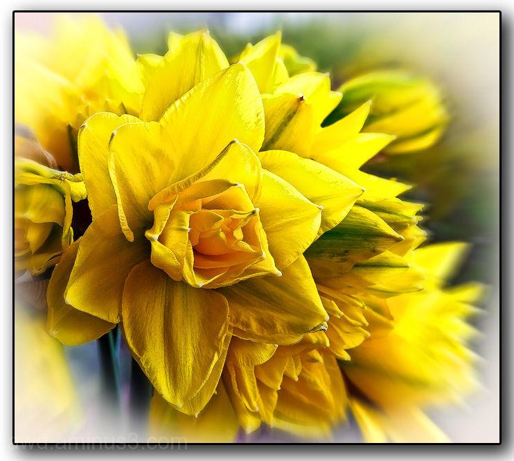 unusual daffodil double?