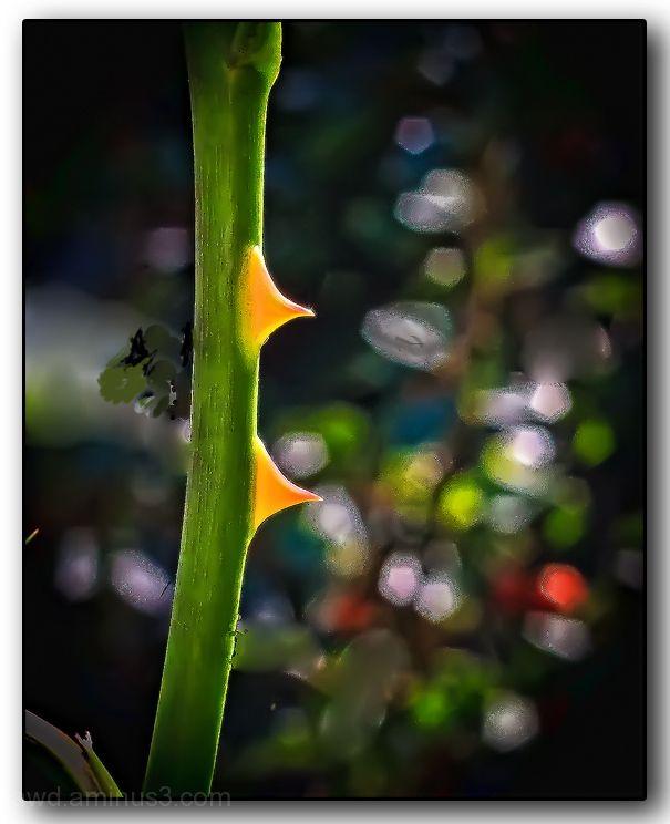 backlit rose thorns