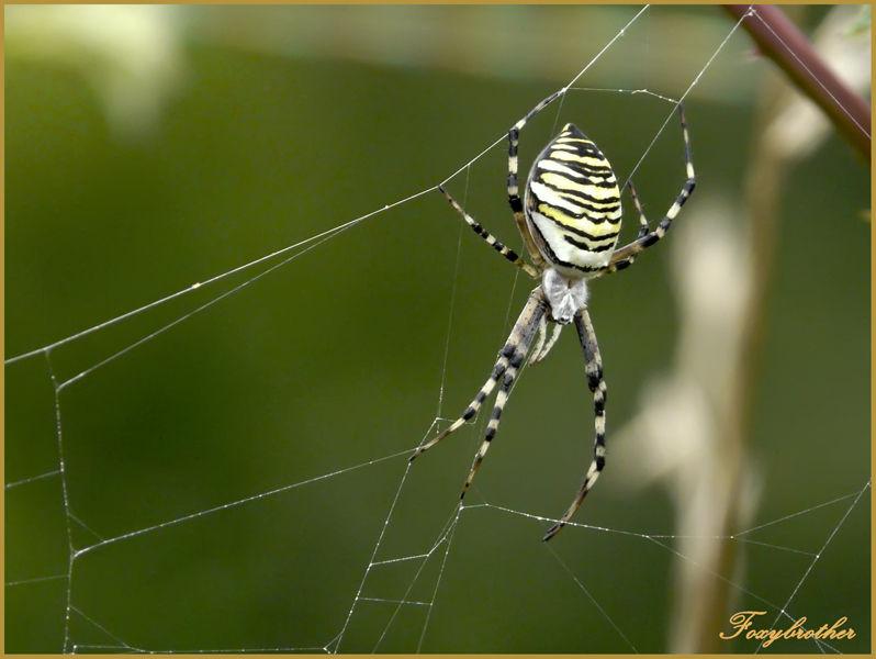 Araignée Agiope Frelon