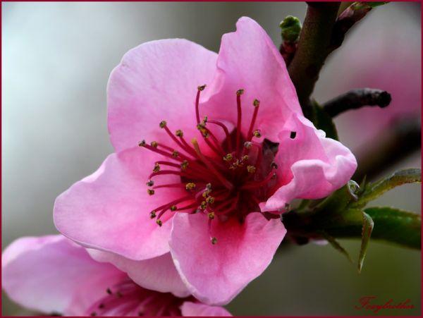 Rose flower of spring