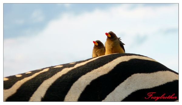 Birds on Zebra's back