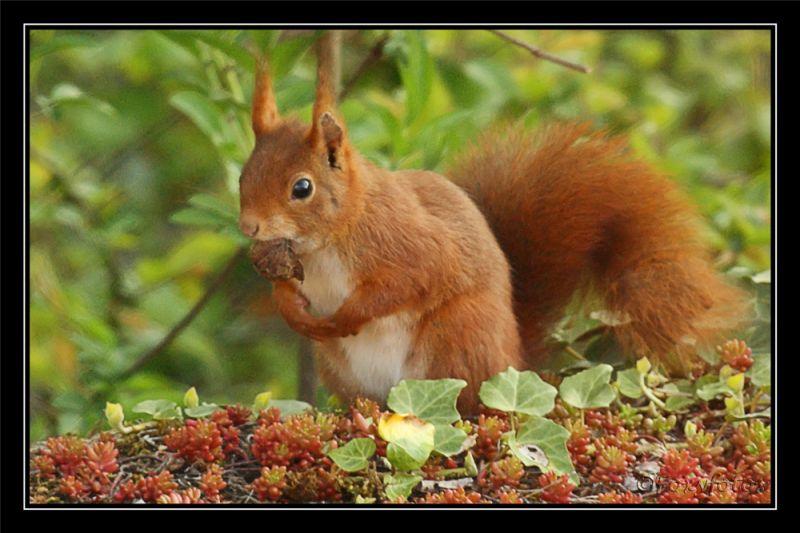 Squirrel  1/2