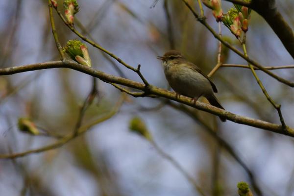 Pouillot Véloce , bird