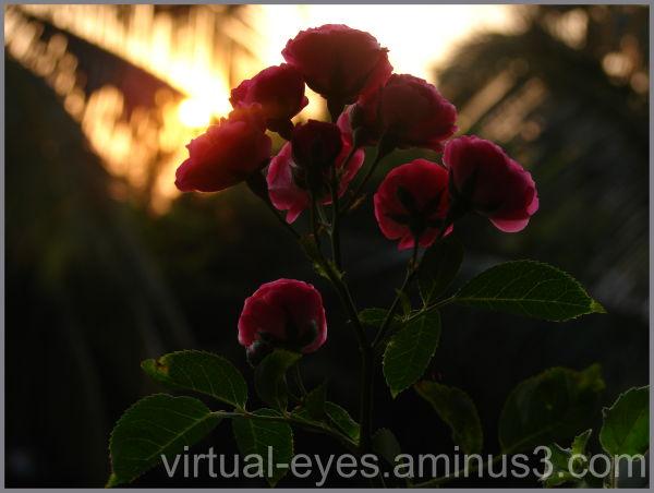 sunrise, roses, bloom