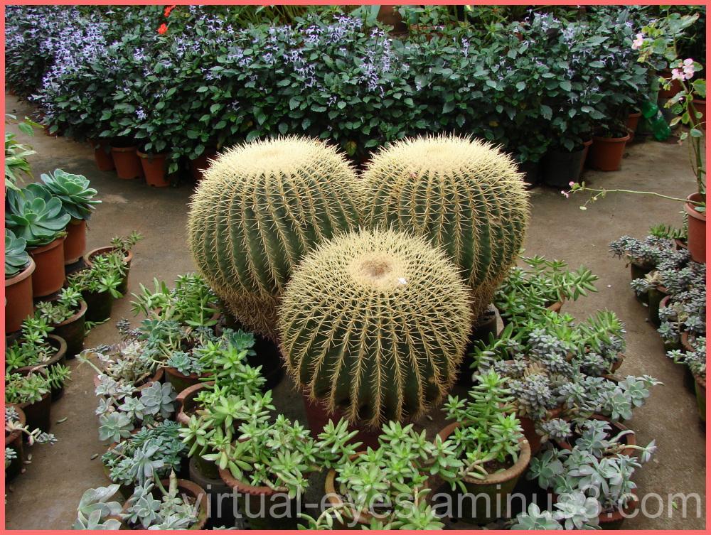 Monster Cacti