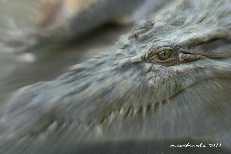 eye of a crocodile, zoobic