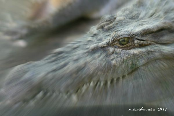 eye of a crocodile, zoobic