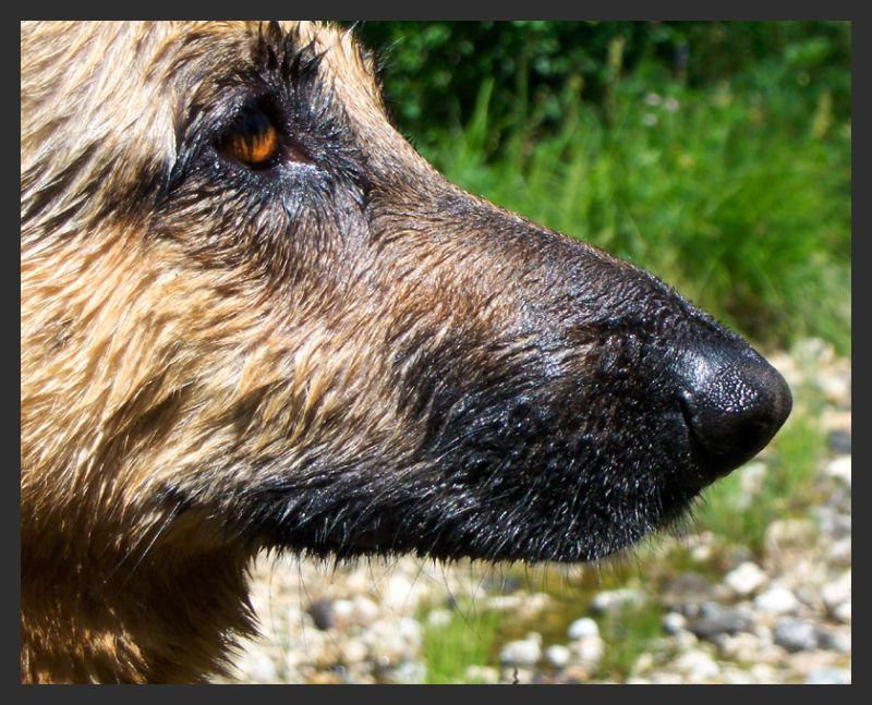 My grizzly bear dog