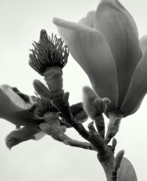 Magnolia trees show off their pods and blossoms