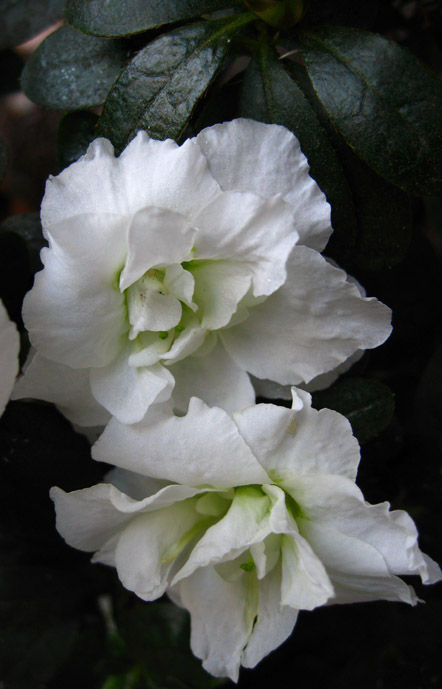 two white azalea blossoms photographed outdoors