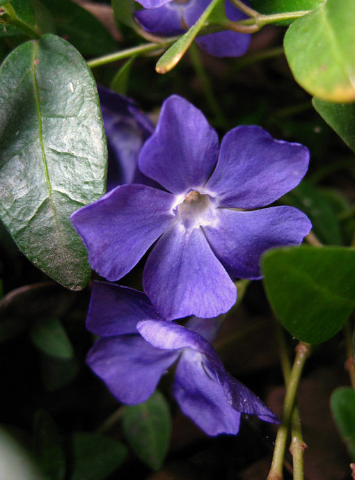macro periwinkle blossoms in the spring garden