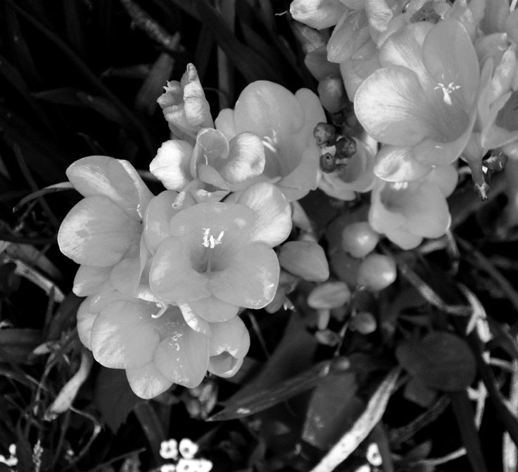 Black & white photo of spring Freesias