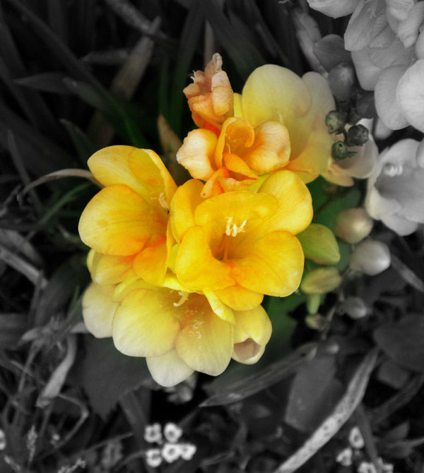 golden freesias