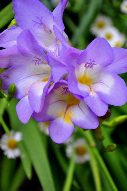 Some freesia's in a california spring garden.