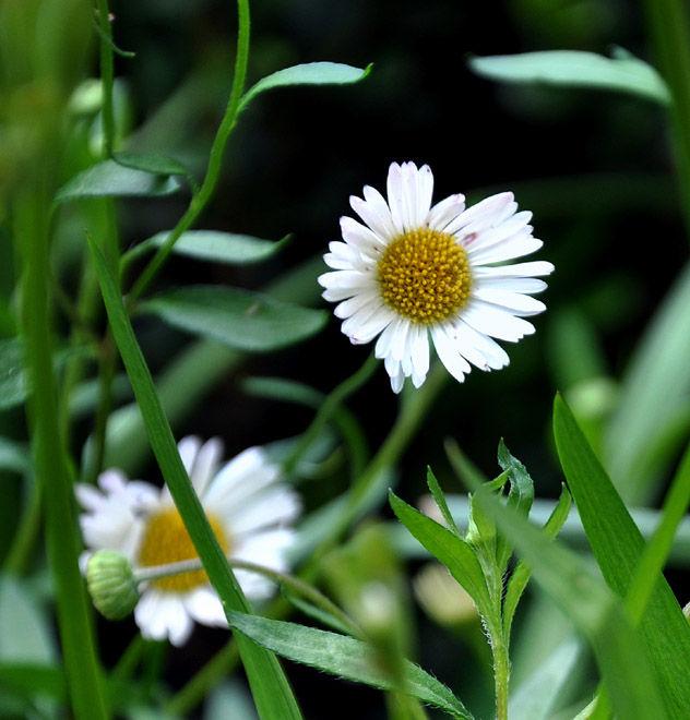 ellen's garden: daisy patch