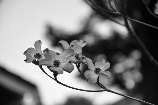 spring blooming doqwood tree, branch in B&W