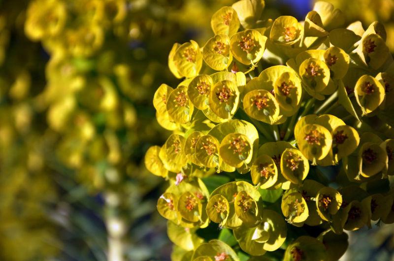 mary gail's garden: euphorbia I