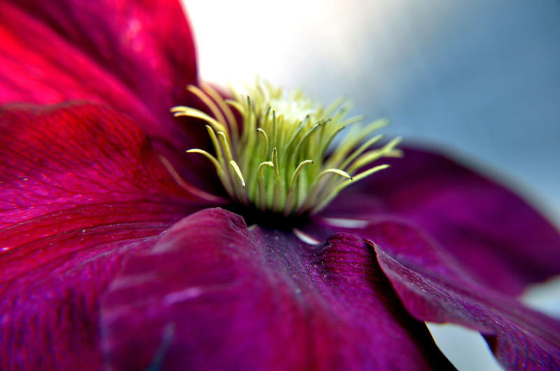 macro photo of clematis blossom in spring