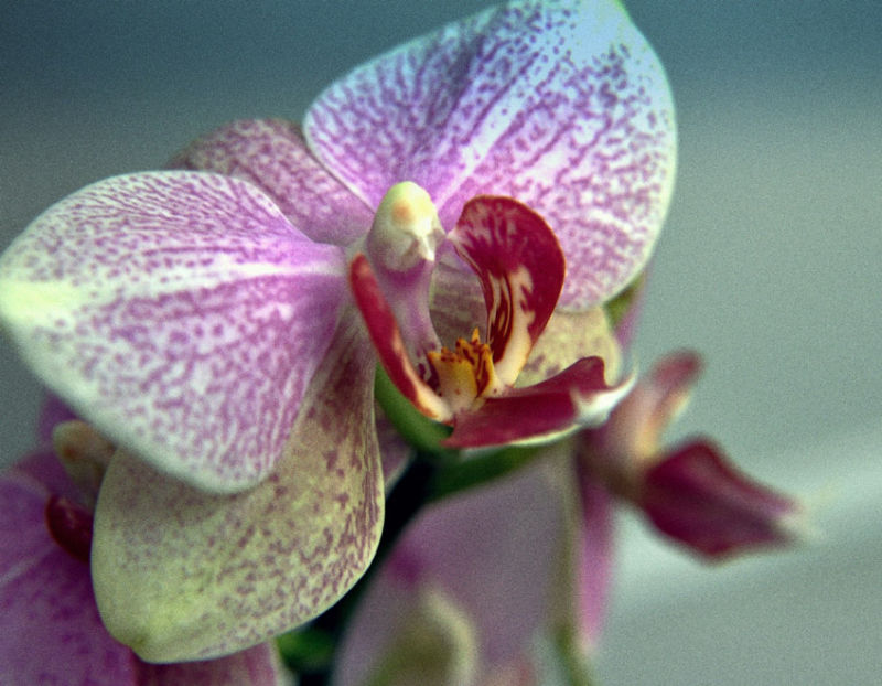 butterfly or orchid?