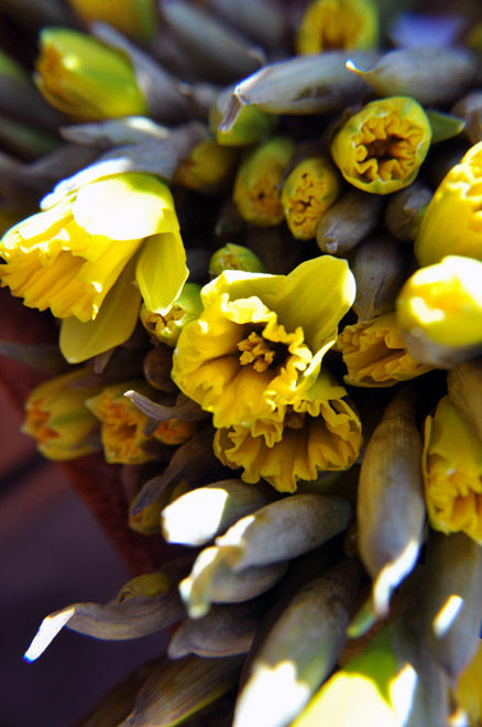 daffodil buds at the market