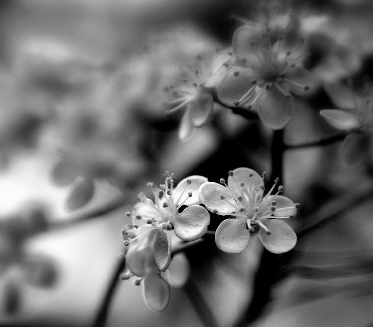 photinia tree blossoms