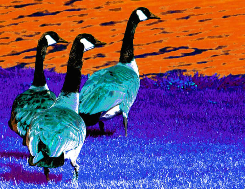 water fowl geese nature abstract