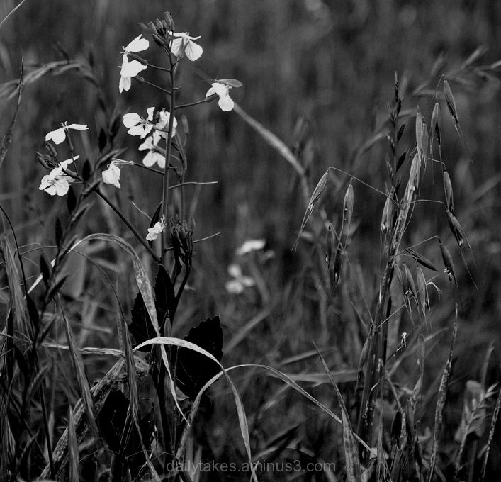 flowers weeds black&white