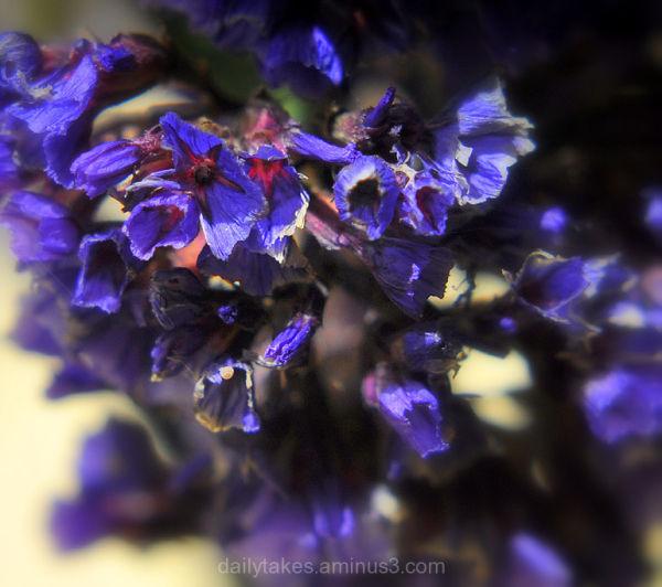 statice ~ or sea lavender