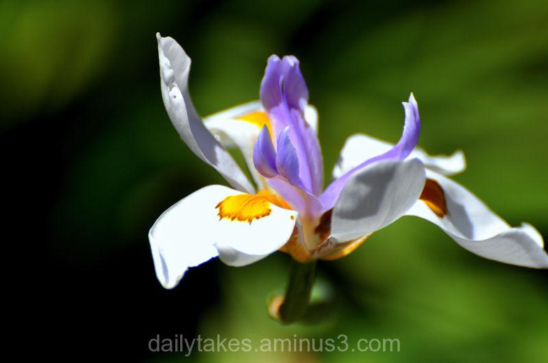 lyrical fortnight lily